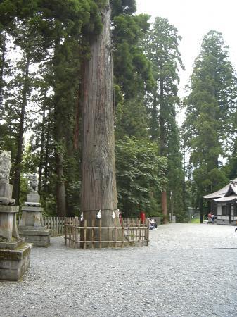 戸隠神社 中社 御神木
