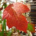 カシワバアジサイの葉が