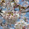 Photos: 桜~2016-1