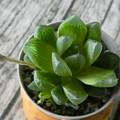 ハオルシア・オブツーサ(多肉植物)