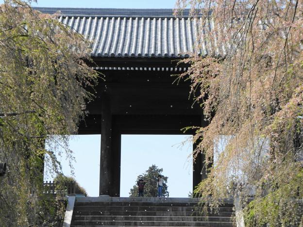 Photos: 花吹雪/東郷寺の枝垂れ桜