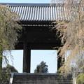 花吹雪/東郷寺の枝垂れ桜