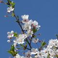 Photos: 青空と桜