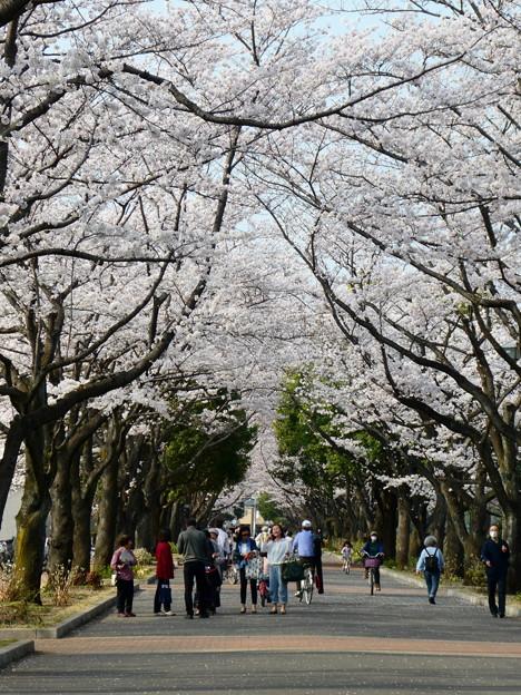 府中の森公園の桜並木