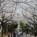 Photos: 府中の森公園の桜並木