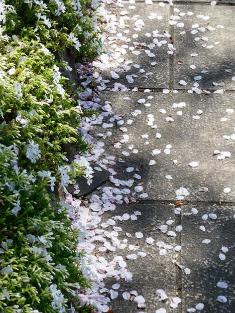 桜散る&花びら舞う
