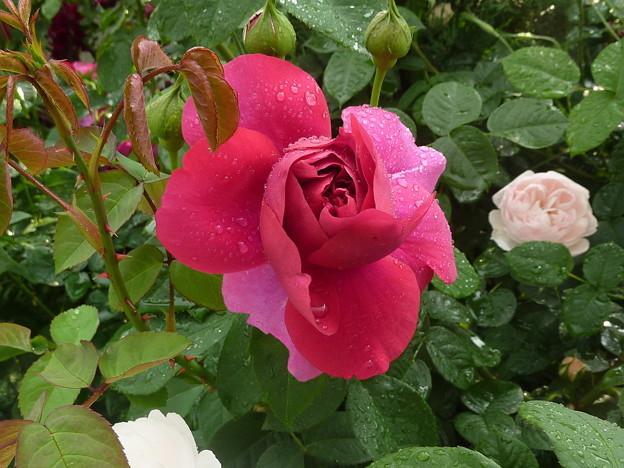 雨の日の薔薇