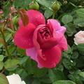 写真: 雨の日の薔薇