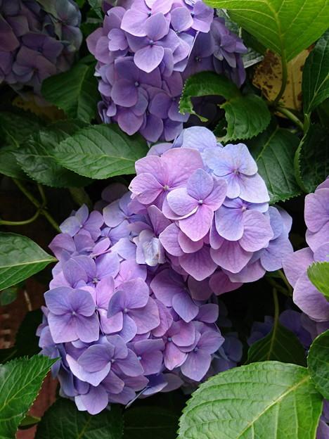 写真: 明月院の紫陽花