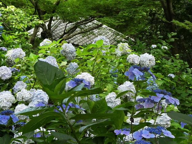 Photos: 明月院の紫陽花