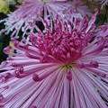 写真: 花火みたいな菊