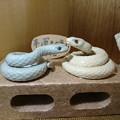 Photos: 白蛇