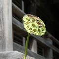 写真: 蓮の実