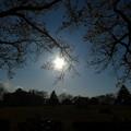 府中の森公園@桜と夕陽と