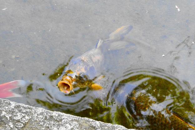 Photos: 金の鯉