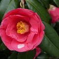 椿と桜の花びら