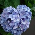 ハートの紫陽花をみっけ
