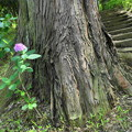 Photos: 大きな木の根に