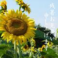 Photos: ひまわり畑