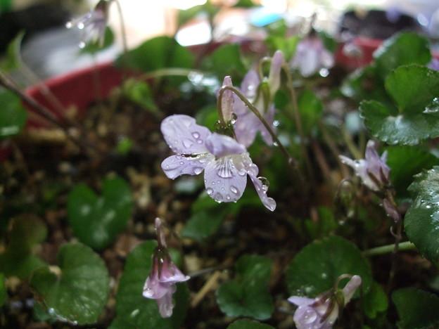 降る雨は菫色