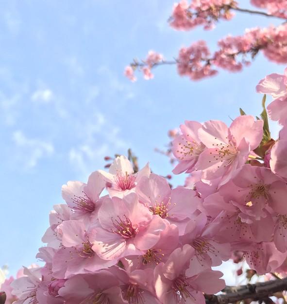 桜シャワー1