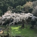 長興山の枝垂桜