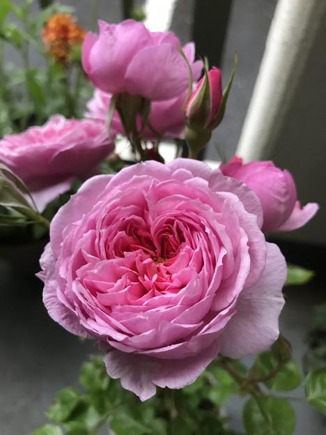 横浜の薔薇
