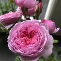 Photos: 横浜の薔薇