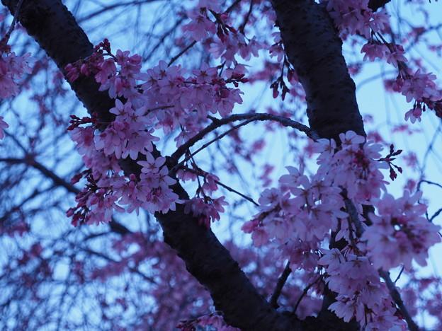 Photos: 夜明けと枝垂桜3
