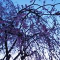 Photos: 夜明けと枝垂桜4