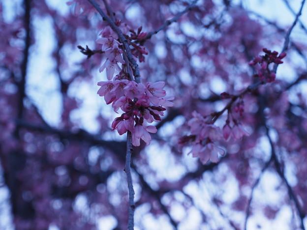 Photos: 夜明けと枝垂桜5