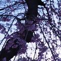 Photos: 夜明けと枝垂桜8