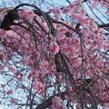 Photos: 夜明けと枝垂桜9