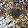 写真: 朝日の中のソメイヨシノ4