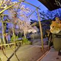 バッグから桜見物