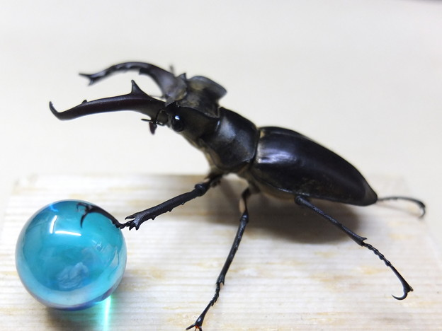 Photos: メディチライオン 吽(Fencelli's Ancient Lion)