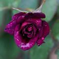 薔薇-京都植物園-9122