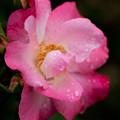 薔薇-京都植物園-9133
