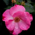 薔薇-京都植物園-9136