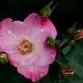 薔薇-京都植物園-9137