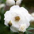 薔薇-京都植物園-9168