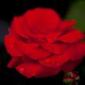 薔薇-京都植物園-9176