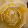 薔薇-京都植物園-9190