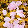 薔薇-京都植物園-9192