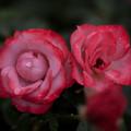 Photos: 薔薇-京都植物園-9216