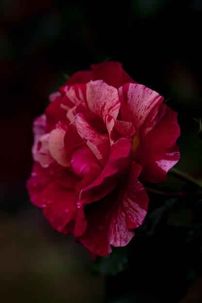 Photos: 薔薇-京都植物園-9228