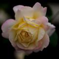 薔薇-京都植物園-9232