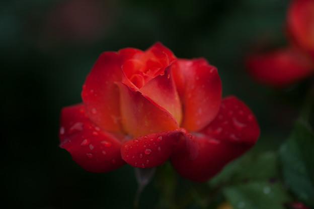 Photos: 薔薇-京都植物園-9234