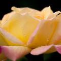 薔薇-京都植物園-9265