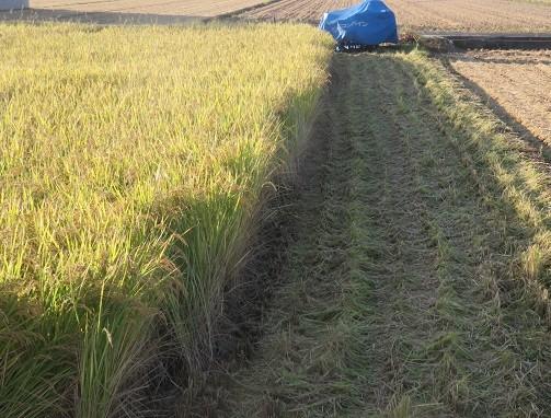 稲刈りの朝